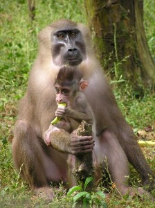 Drill Monkey Infant Facts
