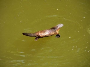 Platypus Facts and Information
