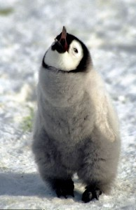 Emperor Penguin Chick Facts