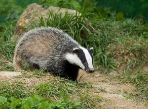 European Badger Cub Facts