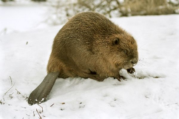 Eurasian Beaver Facts