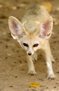 Fennec Fox Pup Facts