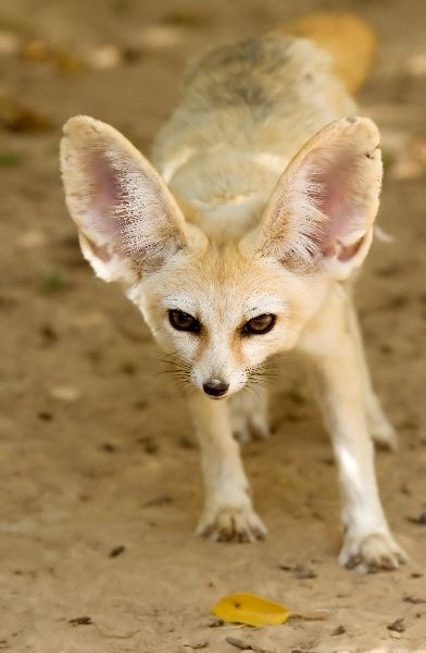 Fennec Fox - Vulpes zerda
