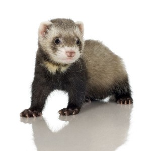 Ferret Kit Facts