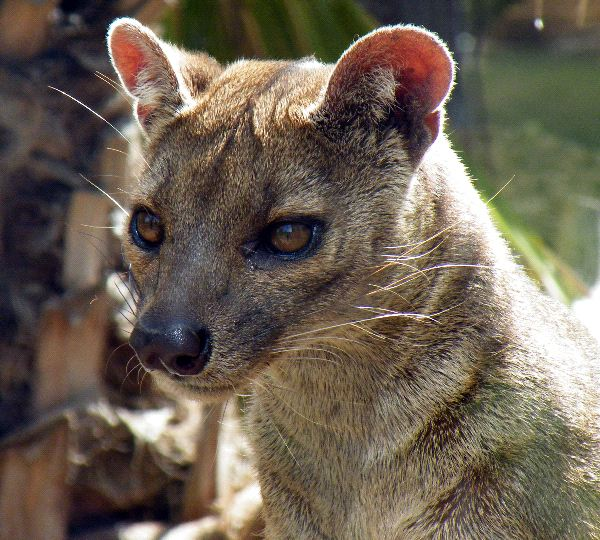 fossa animal facts and information