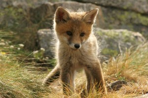 Fox Cub Facts