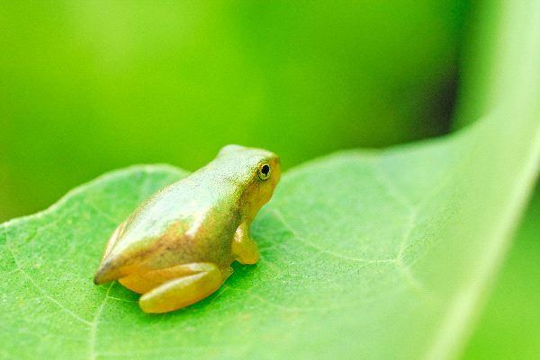 Froglet - Order Anura