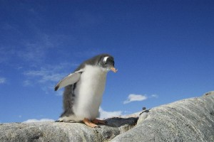 Gento Penguin Chick Facts