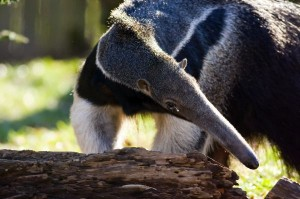 Giant Anteater Information