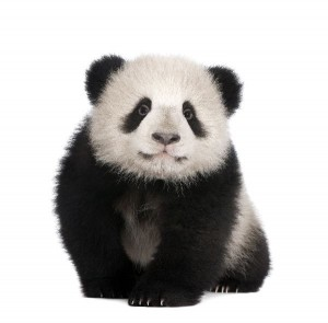Giant Panda Cub Facts