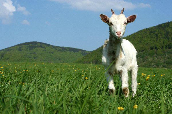 Goat - Capra aegagrus hircus