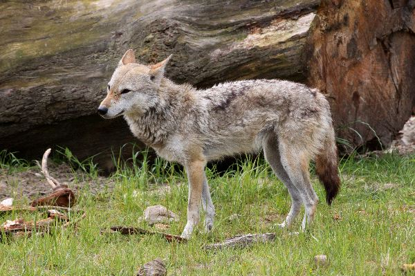 Golden Jackal Facts