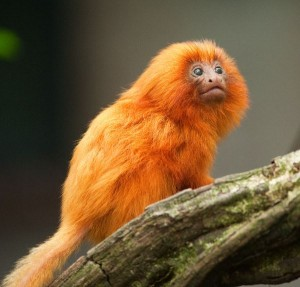 Golden Lion Tamarin Infant Facts