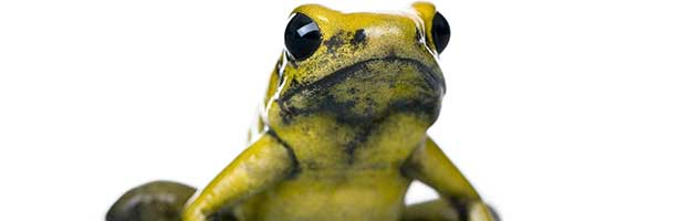 golden poison frog animal facts and information