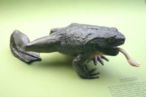 Goliath Frog Information