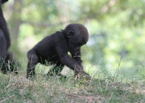 Gorilla Infant Facts