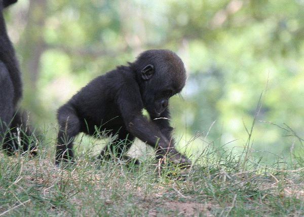 Gorilla - Family Hominidae