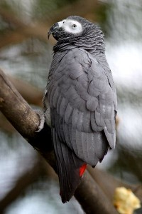 Gray Parrot Facts and Information