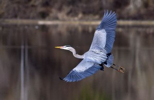 Great Blue Heron Information