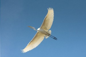 Great Egret Information