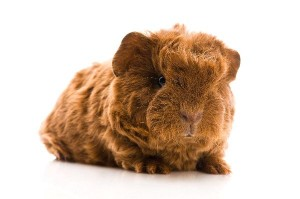 Guinea Pig Pup Facts