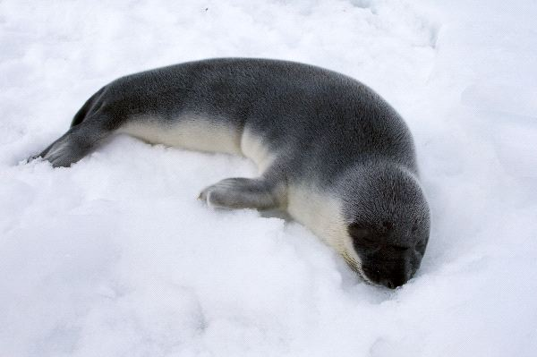 Hooded Seal - Cystophora cristata