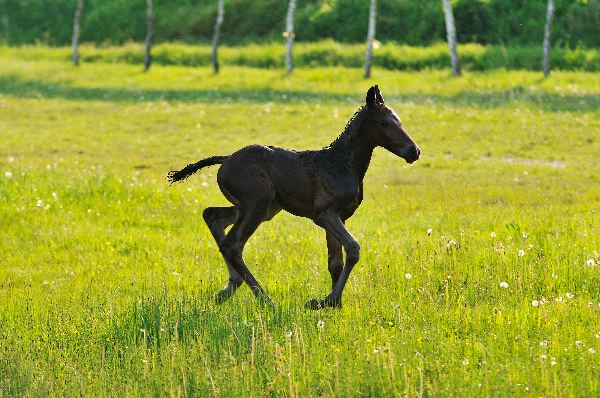 Horse - Equus ferus caballus