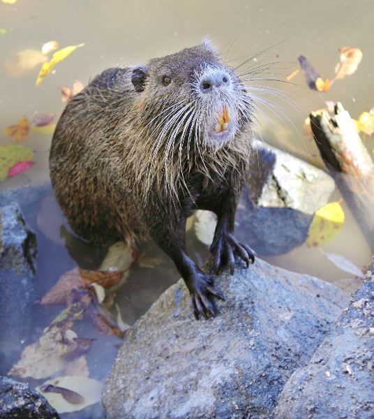 Nutria or Coypu Facts