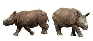 Indian Rhinoceros Calf Facts