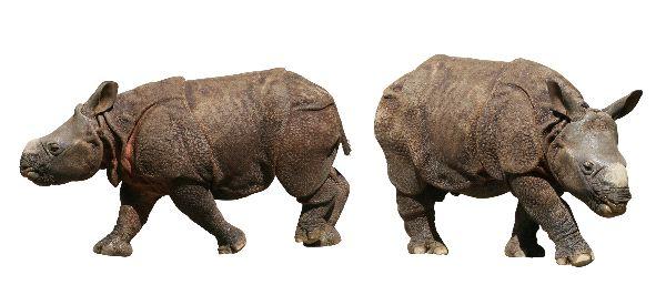 Indian Rhinoceros - Rhinoceros unicornis