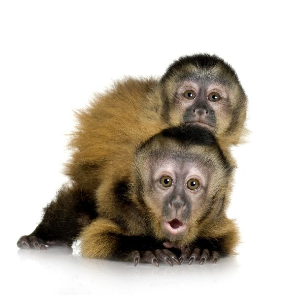 Capuchin Monkeys - Family Cebidae