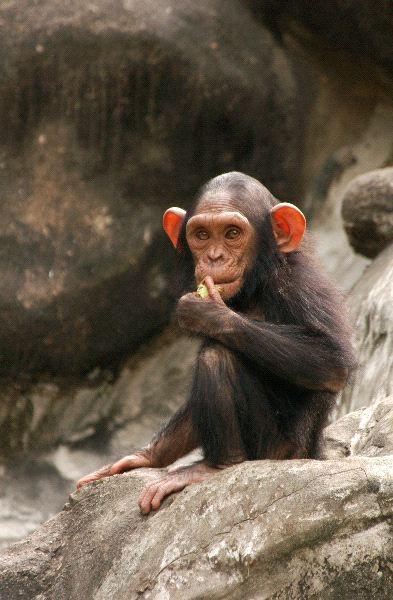 Chimpanzee - Hominidae