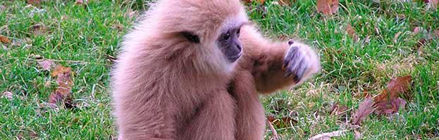 Infant Gibbon
