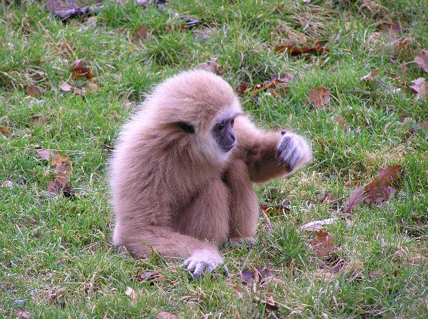 Gibbon - Family Hylobatidae