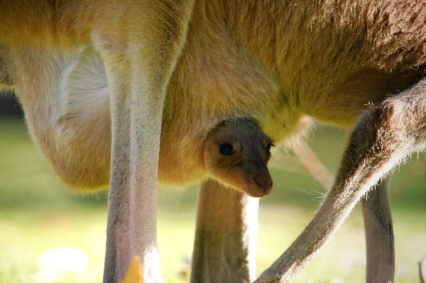 Kangaroo - Genus: Macropus