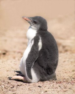 King Penguin Chick Facts
