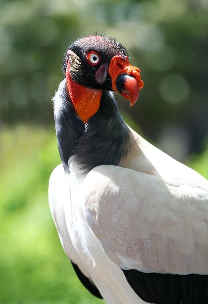 King Vulture Information
