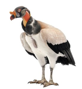 King Vulture Facts