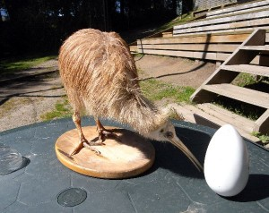 Kiwi Bird Facts and Information