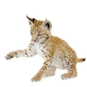 Eurasian Lynx Cub Facts