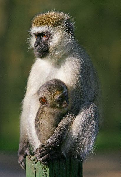 Monkey With - Chlorocebus pygerythrus