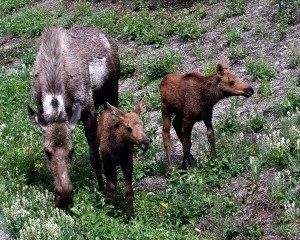 Moose Calves Facts