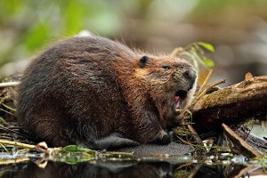 North American Beaver Information
