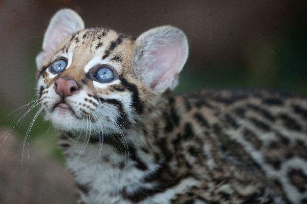 Ocelot - Leopardus pardalis