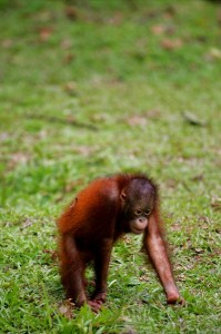 Orangutan Infant Facts