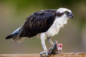 Osprey Facts