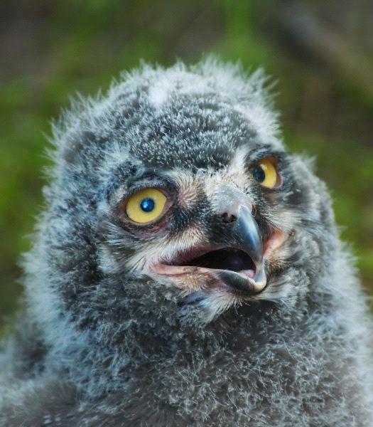 Owl - Order: Strigiformes