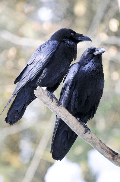 Common Raven Facts