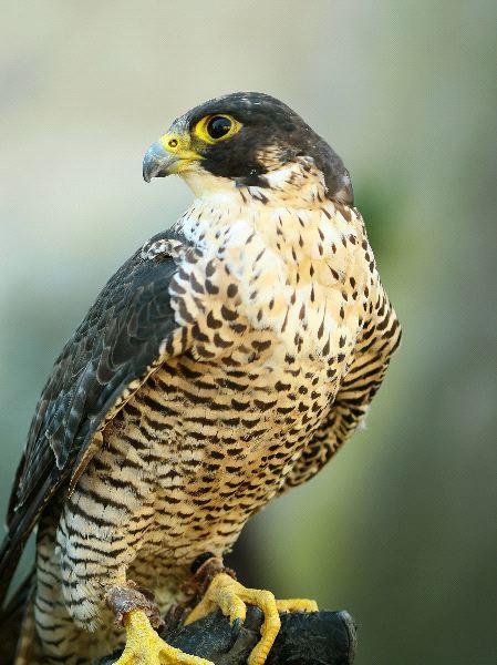 Peregrine Falcon Facts