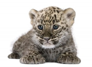 Persian Leopard Cub Facts